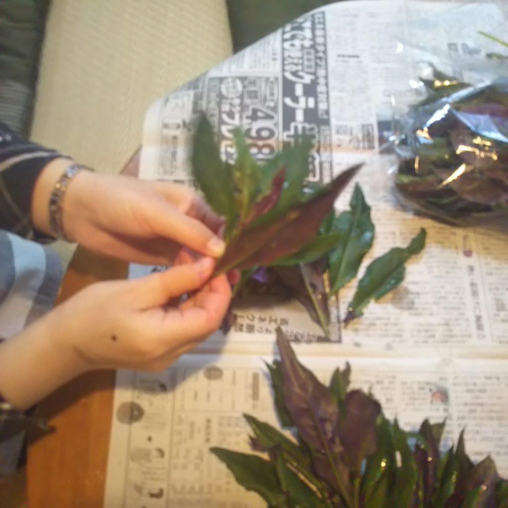 『金時草』の葉っぱ取り